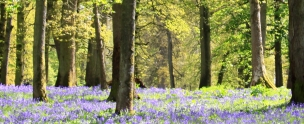 Bluebell Wood Longleat