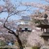 Sakura Cherry Blossom Kyushu Japan