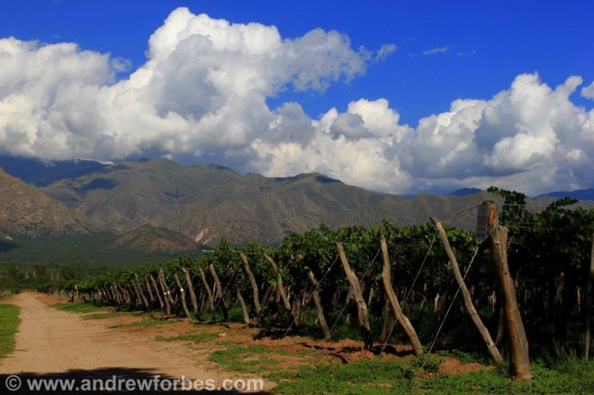 Torrontes white grape vines cafayate Argentina Andrew Forbes