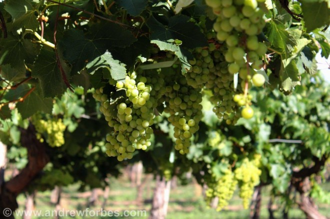 Torrontes wine grapes Cafayate Argentina Andrew Forbes