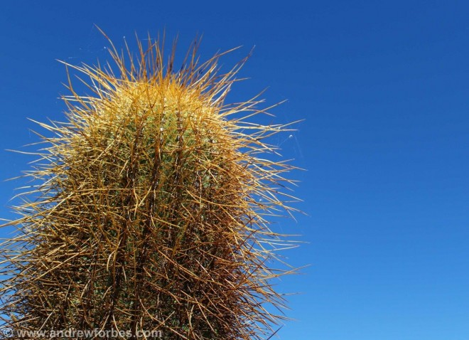 Male cactus salta Argentina