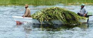 Gathering Reeds1